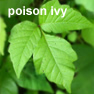 poison ivy picture