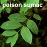 poison sumac picture